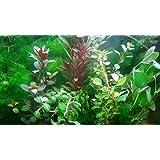 Aqua Plants EXCLUSIVE PRODUCT - 35 Live Aquarium Plants Collection Of Aquatic Plants For Your Fish Tank