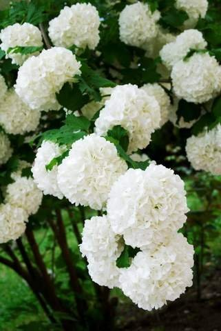Amazon Chinese Snowball Bush Live Viburnum Plant Rare Cannot