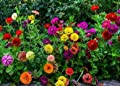 David's Garden Seeds Flower Zinnia State Fair Mix IN140GO (Multi Color) 1000 Open Pollinated Seeds