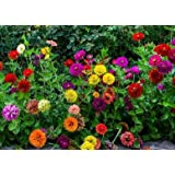 David's Garden Seeds Flower Zinnia State Fair Mix IN140GO (Multi) 500 Open Pollinated Seeds