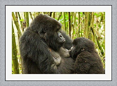 Baby Mountain Gorilla (Rwanda, VP, Baby Mountain Gorilla Breast Feeding by Joe & Mary Ann McDonald / Danita Delimont Framed Art Print Wall Picture, Flat Silver Frame, 42 x 31 inches)