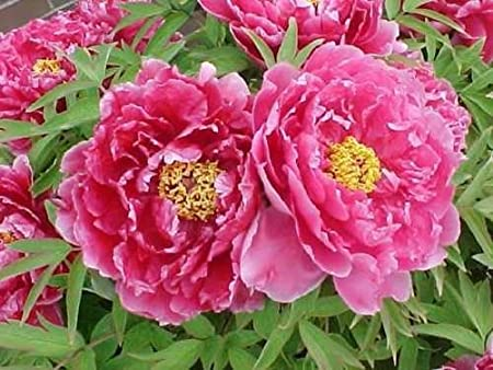 Rare Black Peony Flowers Roots Chinese Paeonia Suffruticosa Perennial Fragrant