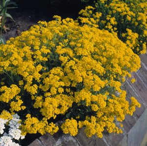 Aurinia Saxatile Compactum Gold Dust 5 000 Seeds