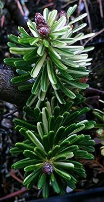 Gelbunt Korean Fir 2 - Year Live Plant