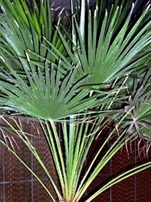European Fan Palm 10 Seeds One of the Hardiest Palms