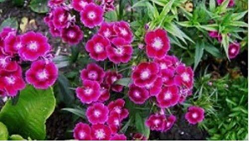 Fresh Sweet William 500 Seeds (Grow Sweet William)