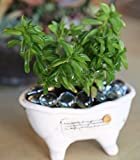 "4"" Rooted Peperomia dolabriformis Prayer Pepper Cactus Succulent Plant Rare"