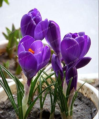 Netherlands Crocus Sativus Flowers, Saffron Bulbs Saffron Flowers
