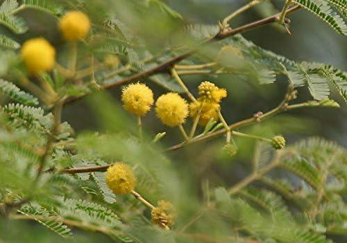 Amazon Com 100 Seeds Acacia Arabica Gum Arabic Garden Outdoor