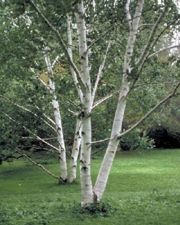 50-paper-birch-tree-seeds-betula-papyrifera-by-seeds-and-things-