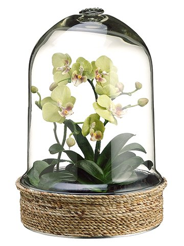 13 5 Phalaenopsis Orchid Plant In Glass Terrarium Lime Amazon Co