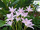 SilksArt Garden ArtRain Lily Bulb, Zephyranthes First Love, Magic Lily, RainFlower, Flowering Size-10 Bulds
