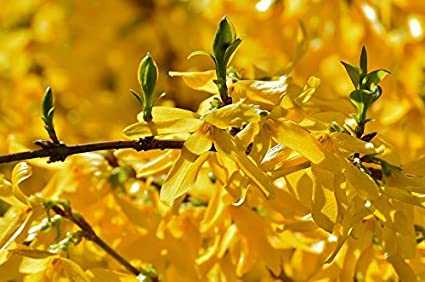 Amazon home comforts framed art for your wall forsythia bush home comforts framed art for your wall forsythia bush yellow flowers beautiful spring 10x13 frame mightylinksfo