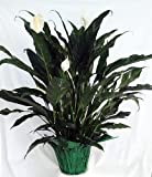 'Domino' Peace Lily Plant – Spathyphyllium – Easy – 6″ Pot/Decorative Pot Cover Review