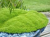 Scleranthus Uniflorus Knawel Cushion - 25 Seeds - Hardy Perennial