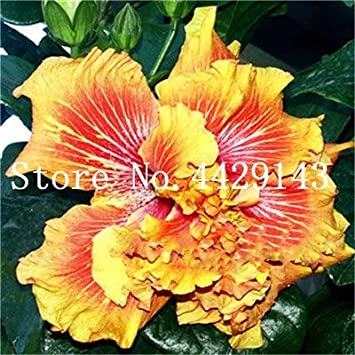 Pinkdose 100 Pcs Hibiscus Flower Plant Potted Giant Hibiscus Plant