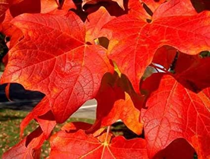 Amazoncom New Red Maple Acer Rubrum Tree 30 Seeds Fall Color