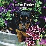 Miniature Pinscher Puppies 2009 7X7 Mini Wall Calendar