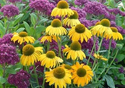 "CONEFLOWER ""Sandy Yellow"" (Echinacea Purpurea-Sombrero) 15+Perennial seeds ""NEW"""