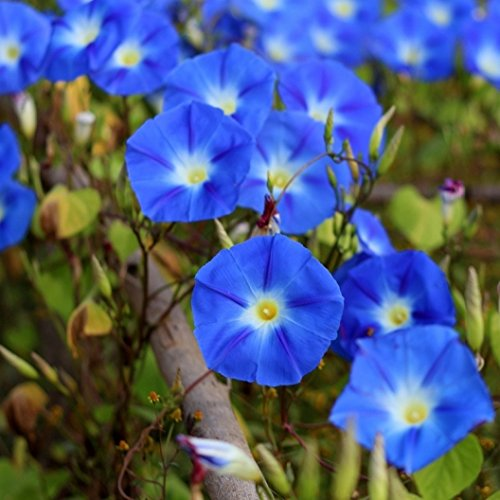 Flower Morning Glory Heavenly Blue SL1018 (Blue) 50 Open Pollinated Seeds (Morning Glory Perennial)