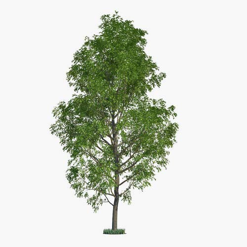 Six (6) Hybrid Poplar Tree Cuttings - Fast Growing Shade or Privacy Trees -Six (6) Poplar Trees ()