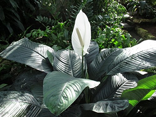 Peace Lily at the garden: Spathiphyllum