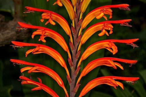 Rare 4 graines lis Cobra (chasmanthe aethiopich127 Cobra Lily Seeds