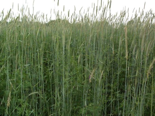 5LBS Winter Rye Seed Cover Crop,Food Plot Deer,Wildlife