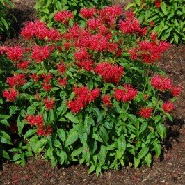 Fire Marshall Bee Balm> Monarda 'Fire Marshall'> Landscape Ready 1 Gallon Container ()