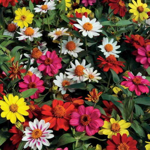 Best Summer Flower in the US -Zinnias