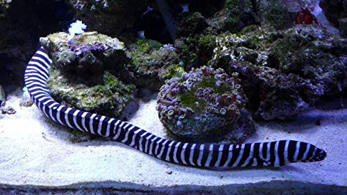 - Zebra-EEL MED 6