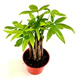 "9GreenBox - Money Tree Plants Prefect Indoor House plant Cute 3.25"" Pot"