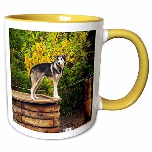 3dRose Danita Delimont - Dogs - Alaskan Husky Dog, Denali Park, Alaska, USA - US02 MHE0009 - Michel Hersen - 15oz Two-Tone Yellow Mug -