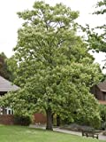 10 Seeds of Chinese Catalpa TRN585 (Catalpa Ovata)