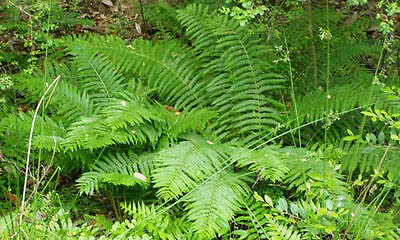 osmundastrum cinnamomeum CINNAMON FERN 5 rhizome//root-
