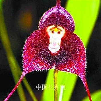 2017 Nuevas Variedades de OrquÃdeas Monkey Face Plantas de OrquÃdeas Raras Plantas