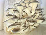 Samson Blue Oyster Mushroom 5lb Growing Kit - 100% USDA Organic