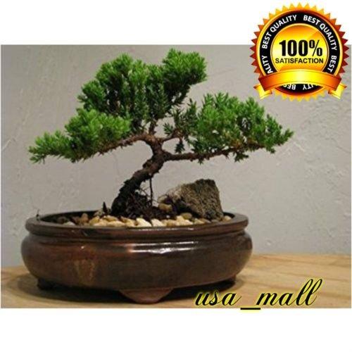 Bonsai Tree Zen Juniper Little Live Nature Japanese Pot Indoor Plant Desk New by gk_usa_mall