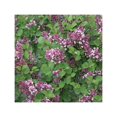 "Syringa-Bloomerang-Dwarf-Purple - 8"" Jumbo Pot (Shrub) : Garden & Outdoor"