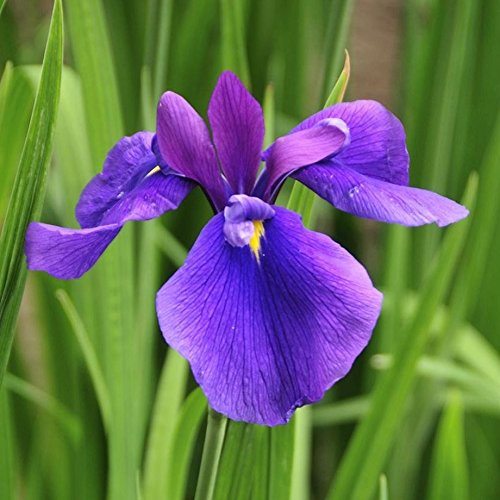 Japanese Iris - 6