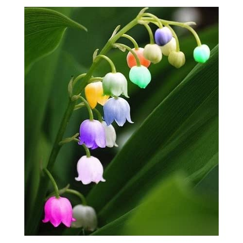 (Colorful Lily *Ambizu*) Rare Colorful Lily of the Valley Convallaria Majalis Perennial Flower Seeds, Professional Pack, 50 Seeds
