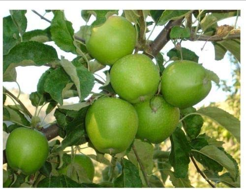 1 Granny Smith Apple Tree - Malus domestica Granny Smith 3 to 4 ft-$29.99 ()