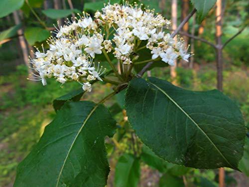1 oz Seeds (Approx 750 Seeds) of Viburnum lentago, Nannyberry, Cowberry, Wild Raisin, Sweet Berry, Sheepberry, Sweet V, Tea Plant