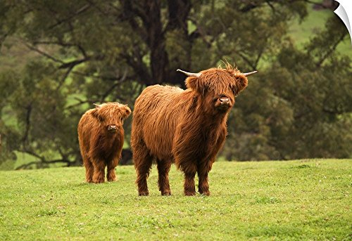 - Canvas on Demand Wall Peel Wall Art Print entitled Highland beef cattle grazing at Mirboo North in the Strzelecki Ranges, Australia 24