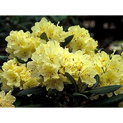 """Rhododendron Capistrano - Lemon Yellow Blooms - Hardy to -15F (8-12"""" Wide - Typically 2 Gallon) : Garden & Outdoor"""
