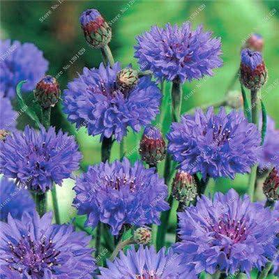 Mezclaron las semillas de aciano flores planta de flor de Bonsai plantas ornamentales plantas del jardín floreciente de crecimiento natural 100 PC / bolso 1: Amazon.es: Jardín