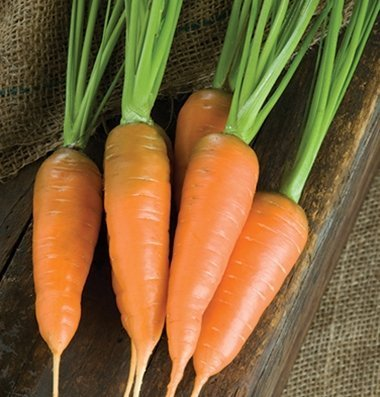 David's Garden Seeds Carrot Caracas D2456 (Orange) 500 Open Pollinated Seeds