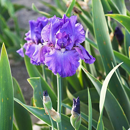 6 Purple Fancy Bearded Iris Bulbs Roots Rhizomes Plants Starts for Spectacular Flowers Year After ()