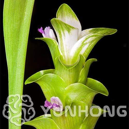 Bloom Green Co. On Sale 100PCS Curcuma Alismatifolia Bonsai Herb Plants Easy To Grow Garden Fresh Bonsai Pots Bonsai: 4