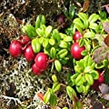 50 Seeds - Mountain Cranberry Bush Seeds (Vaccinium Vitis-idaea)